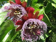 Passionflora Purple Tiger