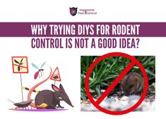 Although you can follow DIY's for rodent control, they are not permanent solutions and there are several reasons you should not manage rodent problems personally?  Rodents can actually infest some other place and infiltrate your homes for food. They can enter your homes through many actually undetectable areas. Rat infestation in your home can reappear if you don't hire professionals. Rat Infestation, Rodents, Pest Control, Rats, Brisbane, Homes, Food, Houses, Essen