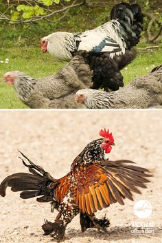 Thinking of keeping Cochin chickens? Discover 5 reasons to love Cochin chickens here! Cochin Chickens, Chicken Breeds, Roosters, Feathers, Backyard, Free, Breeds Of Chickens, Patio, Backyards