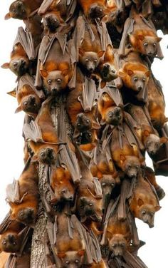 Little Red Flying Foxes. #bats #animals