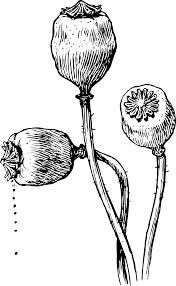 poppy line drawing - Google Search