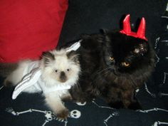 Halloween Cats Picture Gallery: Halloween Cats Picture Gallery: Pearl and Hellcat Pet Puppy, Dog Cat, Cat Dressed Up, Halloween Cat, Happy Halloween, Cat Dresses, Cats And Kittens, Kitty Cats, Cat Costumes