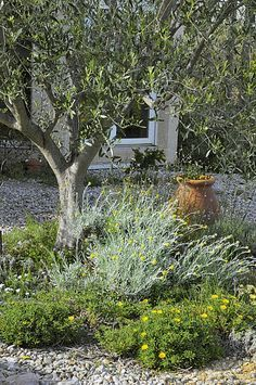 Helichrysum and Astericus maritimus on gravel on the foot of the olive tree. Farmhouse Garden, Garden Cottage, Gravel Garden, Garden Planters, Solar Powered Fountain Pump, Provence Garden, Forest Garden, Mediterranean Garden, Back Gardens