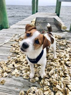 Best Dog Training, Training Tips, Parson Russell Terrier, Awesome Dogs, Adorable Dogs, White Terrier, Bull Terrier Dog, Family Dogs, Beautiful Dogs