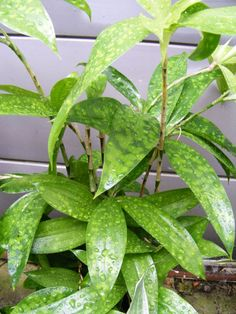 Epipremnum Aureum Marble Queen Pothos Devil S Ivy