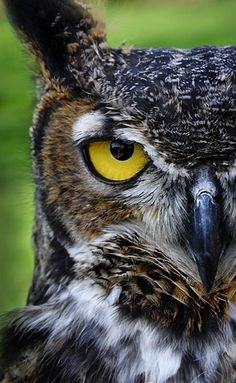 Great Horned Owl, aka kookooskoos. Get sensory, hands-on activity ideas for teaching THE TRUMPET OF THE SWAN by E.B. White at http://www.litwitsworkshops.com/free-resources/the-trumpet-of-the-swan/  LitWits Kits make great books real and fun for kids!