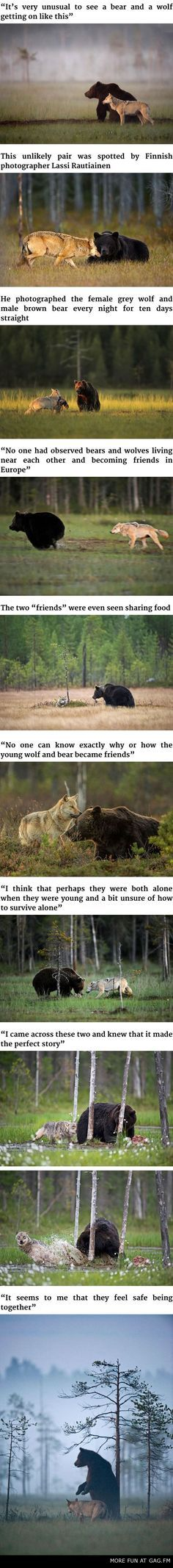 Unusual Friendship Between Wolf And Bear Documented By Finnish Photographer