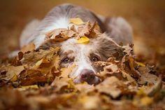 Australian Shepherd Puppies, Aussie Puppies, Cute Puppies, Cute Dogs, Dogs And Puppies, Doggies, Australian Shepherds, Dog Photos, Dog Pictures