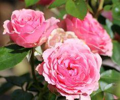 (klim)roos 'New Look' – Noack (2009) – ADR 2008. Rijk bloeiend met trosjes van halfgevulde karmijnroze bloemen (8cm), die bij de uitbloei vervagen naar lichtroze. Gegolfde bloemblaadjes. Zeer gezond. Als struik 130cm x 100cm, als klimmer tot 200cm.