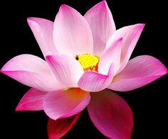 Colorful Lotus Flower Wallpaper 10.jpg (1024×852)