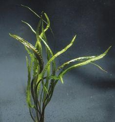 Cryptocoryne crispatula Schmalblättriger Wasserkelch Lange, schmale, leicht gewellte Blätter, anspruchslos. Art.Nr.304Kurzname:366