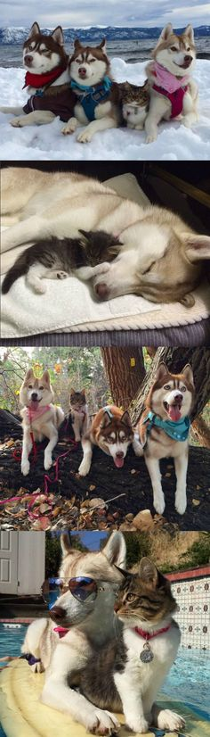 When a husky-loving family discovered a tiny, sickly kitten, they weren't sure if the sweet little thing would make it through the night. They took their chances and introduced the kitty to Lilo, one of the most nurturing dogs in their pack.