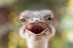 Ostrich - null