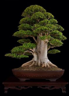 Great Bonsai tree by Nacho Marin, found at BonsaiBaison. www.bonsaiempire.com - Feel free to share! #bonsai