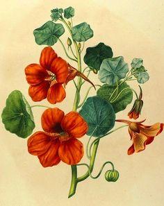 nasturtium-flowers-tropaeolum-majus-1820