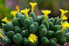 Suculenta... Nome científico: Conophytum bilobum.