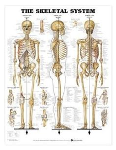 Amazon.com: Human Skeletal System Chart Professional: Industrial & Scientific