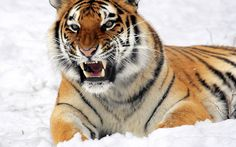 The angry tiger