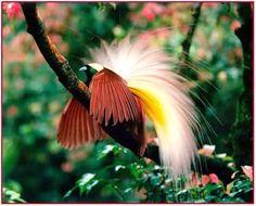 Gli uccelli del paradiso o paradisee.