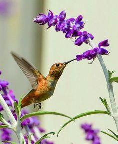 Hummingbird moment and wild Fauna All Birds, Little Birds, Love Birds, Pretty Birds, Beautiful Birds, Hummingbird Pictures, N Animals, All Things Purple, Purple Flowers