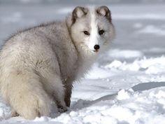 Arctic+Fox.jpg (1600×1200)