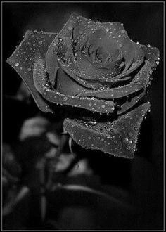 The unique black rose that is found in Halfeti,Turkey❣️