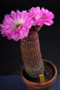 Cactus Plants, Gardening, Vase, Flowers, Beautiful, Decor, Plants, Decoration, Cacti