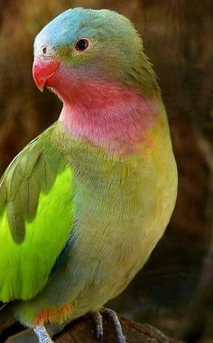 Princess of Wales Parakeet | http://beautifulbirdofparadise.blogspot.com