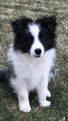 Border Collie puppies are the cutest.