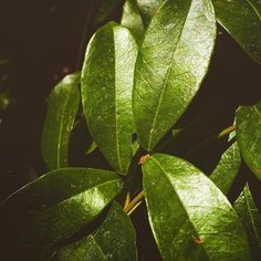 Leaves in the garden this afternoon #leaves #plants #garden #gardenersnotebook #nature #outdoors