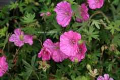 GERANIUM sang. 'Ankums Pride' - Storkenæb, farve: rosa, lysforhold: sol/halvskygge, højde: 20 cm, blomstring: juni - september, god til bunddække, god til bier og andre insekter.