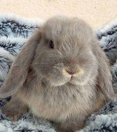 Le lapin bélier : un lapin que l'on a envie de caresser
