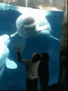 "Animal Videos no Twitter: ""Ghetto Beluga Whale https://t.co/gQVPjuV9Pe"""