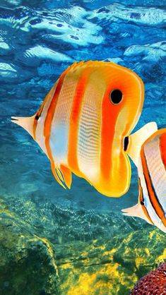 Great Barrier Reef - Butterfly Fish. Copyright © Vladimir Golubev...