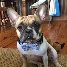 @tomtoursnola surely knows how to tie one on for #bowtie Tuesday. #bowtietuesday #charlestonkrewe #dogbowtie #southernpup #dapperdog #bowtie #suitedup #dogsofinstagram #frenchbulldog #frenchie by charleston.krewe