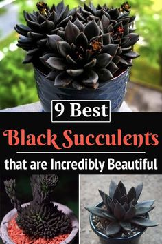 Do they exist? The answer is YES! There are some dark succulents that appear black, and you can grow them as well. Succulent Gardening, Planting Succulents, Planting Flowers, Succulent Garden Ideas, Succulents Drawing, Flowering Succulents, Succulent Containers, Succulent Terrarium, Container Flowers