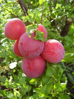 Слива сорт Скороспелка красная