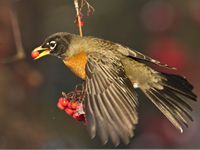 Winter robins eat berries.