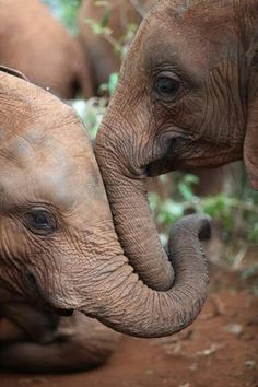 Baby elephants need to be touched every few seconds for reassurance and suck their trunks like human babies suck their thumbs.