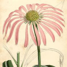 Echinacea, commonly known as coneflower, is an immune stimulant and modulator traditionally used by North American plains people for at least 400 years for symptoms in the throat and mucus membranes, topically for snake and insect bites as well as burns and skin afflictions (using a mashed paste of the entire plant), dental cavities, venereal disease, gastrointestinal (GI) tract disorders, and even arthritis!