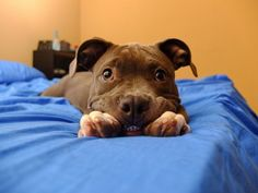 A dog lying on a blue bed smiling to the camera.