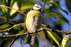 Blue Tit, Type 1, Birds, Facebook, Photography, Animals, Photograph, Animales, Animaux