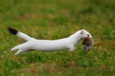Ermine, Stoat or Short-tailed Weasel in Winter Animals And Pets, Baby Animals, Funny Animals, Cute Animals, Beautiful Creatures, Animals Beautiful, La Martre, Cute Ferrets, Carnivore