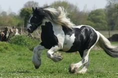 The Irish Cob, also known as the Gypsy Vanner or Gypsy horse, has long had an important role in Irish...