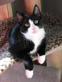 ♥CG♥ 182 Tuxedo Cat