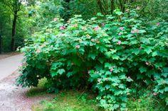 le framboisier à fleurs roses est une des plantes d'ombre les plus appropriées Bright Purple, Purple Flowers, Horticulture, Shrubs, Raspberry, Berries, Bloom, Backyard, Landscape
