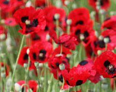 Papaver orientale 'Avebury Crimson' - Plants - gardenersworld.com