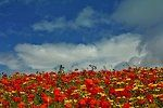 Poppies and Sky at West Pentire 0108