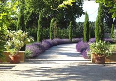 Lavender and cypress look very beautiful together.