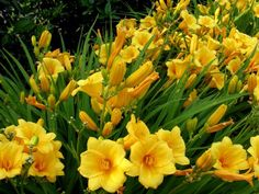 Day Lilies - Super-Easy Perennials Meet some of the most forgiving perennials: these garden toughies don't need much coddling to bloom year after year. Summer Flowers, Yellow Flowers, Beautiful Flowers, Flowers Perennials, Planting Flowers, Yellow Perennials, Flowers Garden, Sun Loving Plants, Diy Garden Projects